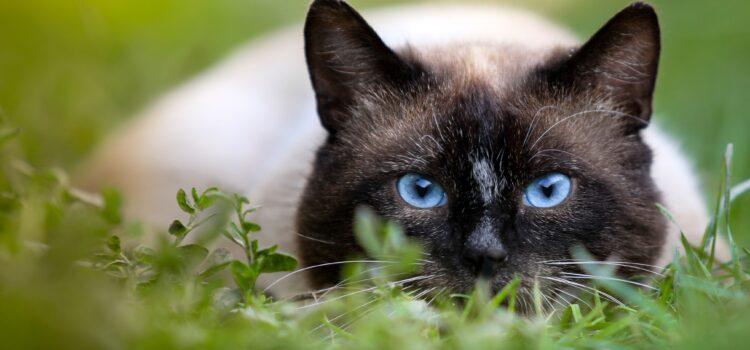 Wie schützt sich die Katze vor Hitze?