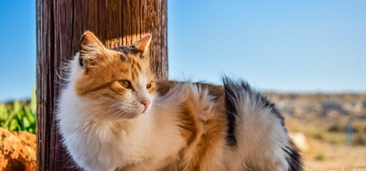 Pseudogravidität – die Scheinträchtigkeit bei Katzen