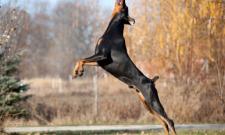 dobermann hundesport