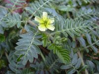 Tribulus Terrestris Pflanze